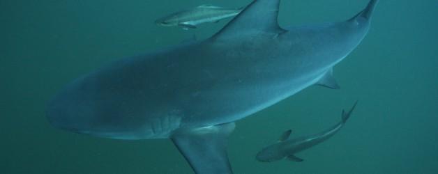 Bull Sharks are back – Koh Tao