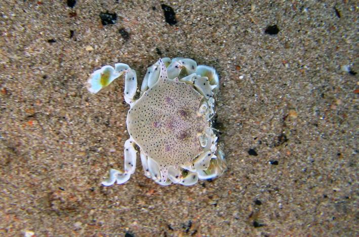 A Crab at Mango Bay