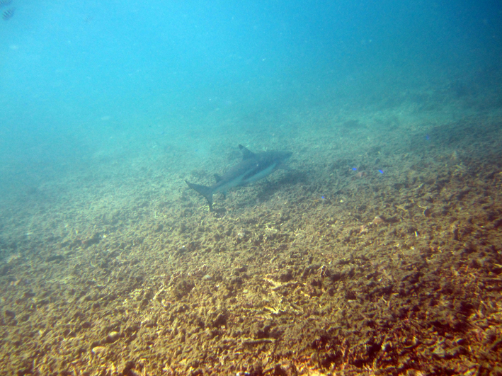 A small Blacktip Reef Shark at Sahrk Bay
