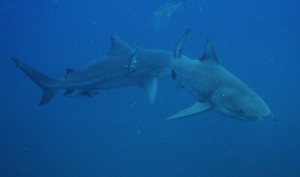 Bull Sharks, Sail Rock