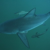 Bull Sharks are back – Koh Tao